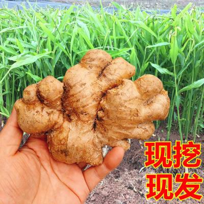 四川生姜老姜现挖大黄姜10斤**姜新鲜蔬菜月子姜非小黄姜2/5斤