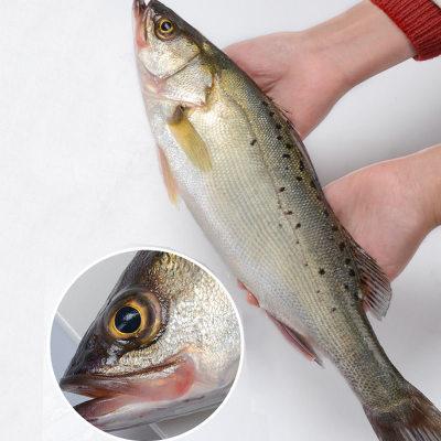 鲈鱼 鲜活海鲜海鲈鱼新鲜水产七星海鲈鱼深海花鲈鱼1斤/条