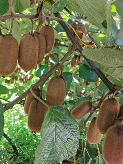 猕猴桃,奇异果40-50个
