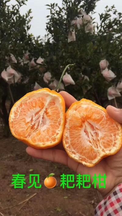 春见耙耙柑四川新鲜丑橘孕妇应季水果粑粑柑丑八怪