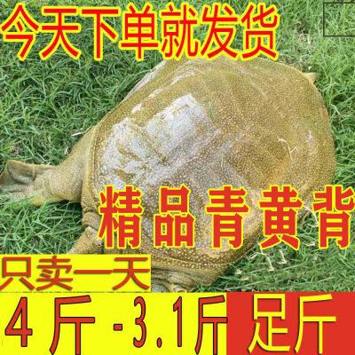 青黄背外塘大甲鱼活体食用水库背新鲜**鳖**水鱼团鱼3.1-4斤
